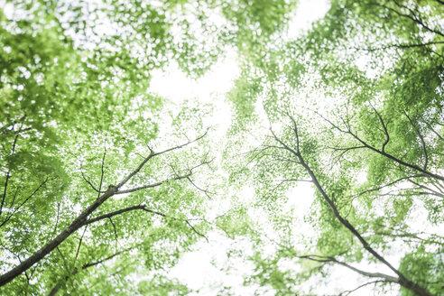 Japan, Arashiyama, Japanese maple leaves - FLF001229
