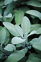 Sage , Salvia officinalis, in garden, close-up - CZF000219