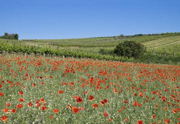 Austria, Lower Austria, Weinviertel, Falkenstein, flower meadow with poppies and vineyards - SIEF006695