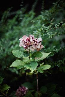 Pale pink hydrangea - LSF000067