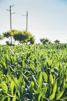 Corn field - BZF000199