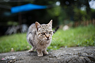 Tabby cat in a garden - RAEF000331