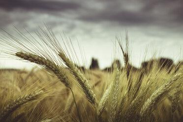 Barley field, Hordeum vulgare, close up - DWIF000569
