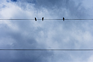 Three crows perching on power cable - TCF004849