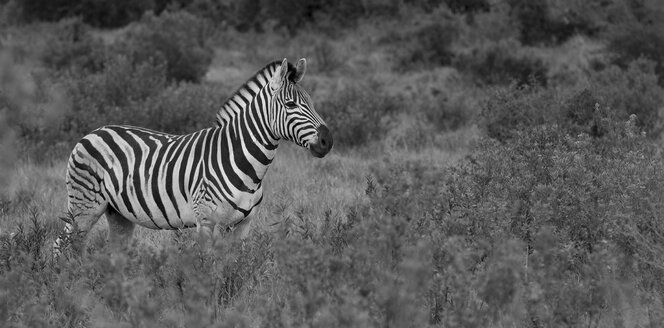 South Africa, Addo Elephant National Park, zebra - MPA000032