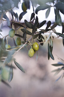 Turkey, Foca, green olives on tree - CZF000220