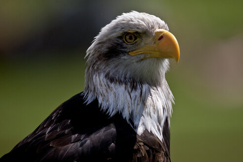 Germany, portrait of a bald eagle - ZCF000251