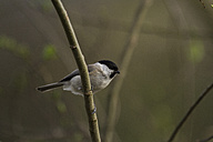 Germany, marsh tit - ZCF000252