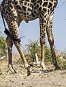 Botswana, Chobe National Park, legs of a giraffe - MPAF000036
