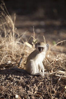 Botswana, Chobe National Park, young green monkey - MPAF000038