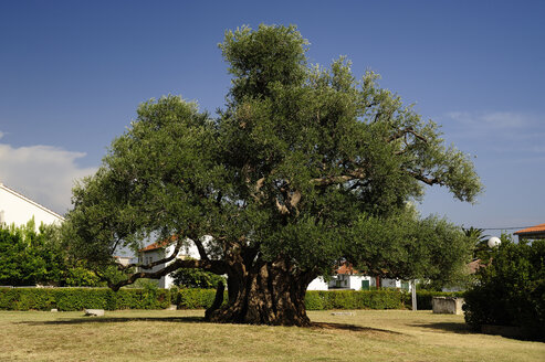 Croatia, Kastela, Kastel Novi, 1500 years old olive tree - BTF000388