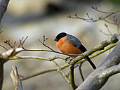 Germany, male Eurasian bullfinch - ZCF000255