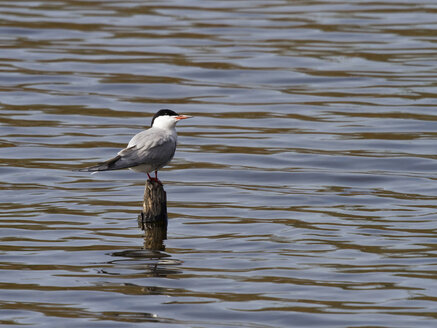 Germany, Common tern - ZCF000256