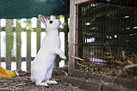 White rabbit, stable - CHPF000159
