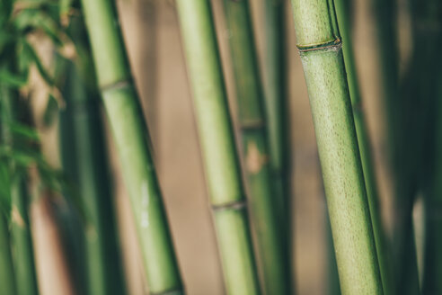 Bamboo, close up - BZF000232