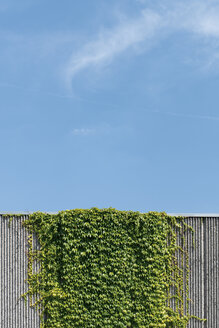 Creeping plant growing at concrete wall in front of blue sky - VIF000385