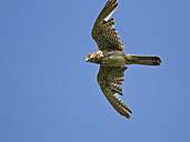 Sparrowhawk in flight - ZCF000286