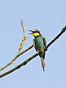 Bee-eater perching on twig - ZCF000288