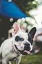 Portrait of a French bulldog - RAEF000432