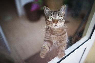 Tabby cat looking up through a window - RAEF000458