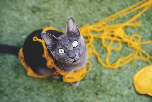 Russian blue tangled in yellow wool looking up to camera - GEMF000349
