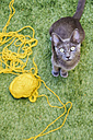 Russian blue sitting besides yellow ball of wool looking up to camera - GEMF000351