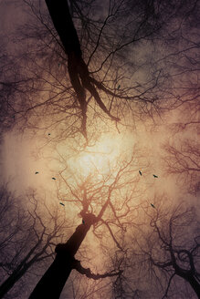 Beech trees and flying birds, low anglev view, textured effect - DWIF000587