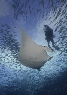 Micronesia, Palau, Woman diving with Manta alfredi - TOVF000028