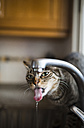 Tabby cat drinking water from the faucet in the kitchen - RAEF000462