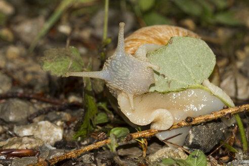 Edible snail, Helix pomatia - ZCF000306