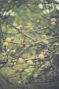 Twigs with apples in autumn - ASCF000385