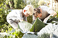 Father and his little son harvesting red cabbage - MFRF000459