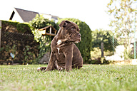 Portrait of Olde English Bulldogge sitting on the meadow - MFRF000460