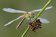 Wet Black darter on blade of grass - MJOF001072