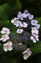 Blossoming Hydrangea in the late summer - JT000692