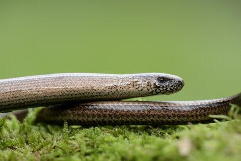 Slow worm - MJOF001091