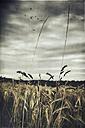 Grasses in front of a grain field - DWIF000608