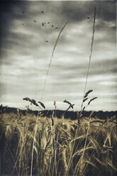 Grasses in front of a grain field - DWIF000608