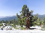 USA, California, Yosemite National Park, pine tree - SBDF002203