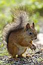 Finland, Red squirrel, Sciurus vulgaris - ZC000320