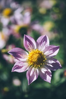 Dahlia blossom - ELF001587