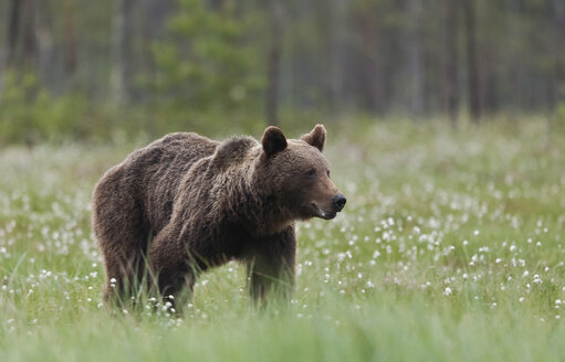 Finland, Kuhmo, brown bear at Kainuu - ZC000326