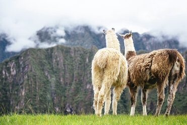 Peru, Machu Picchu region, Two Llamas looking at foggy mountains - GEMF000412