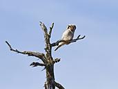 Finland, Kuhmo, hawk owl, Surnia ulula, perching on branch - ZC000329