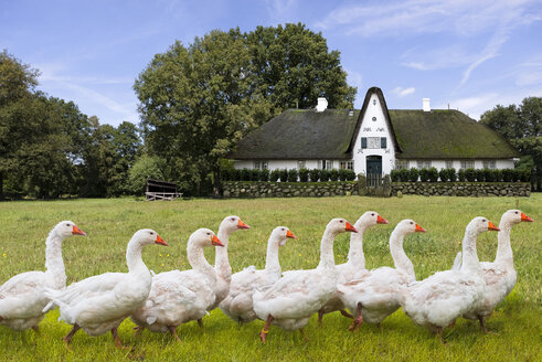 Germany, Keitum, Frisian house and geese - KLRF000166