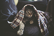 Portrait of tabby cat hiding under a blanket on the couch - RAEF000513