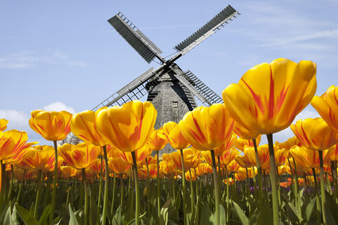 Netherlands, Keukenhof, view to traditional windmill with tulip field in the foreground - KLRF000200