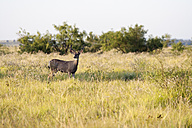 Deer in field - NNF000252