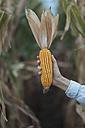 Woman holding corn cob, cornfield - JPF000063