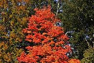 Maple, autumn leaves - JTF000706